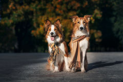 Two red dogs wearing a scarf in autumn Stock Photography