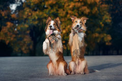 Two red dogs wearing a scarf in autumn Stock Photos