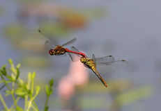 Two red dragonflies mating in flight. Two red dragonflies attached to each other, mating in flight with pond in background Stock Photography