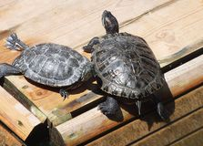 Two Red-eared Turtles are basking in the sun. Two red-eared turtles bask in the sun, on a warm day Royalty Free Stock Photo