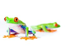 Two Red Eyed Tree Frogs. Two bright, colorful Red eyed Tree frogs posing on an isolated white background Stock Photo