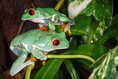 Two red eyed tree frogs playing betweens plants in the terrarium stock photos