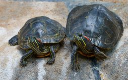 Two red-eyed turtles sitting on a rock stock photos