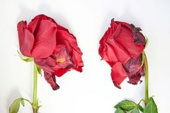 Two red faded roses on a white background. Close-up stock photo