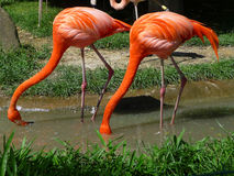 Two red flamingos Royalty Free Stock Images