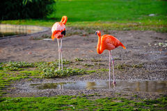 Two red flamingos Royalty Free Stock Photos