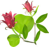 Two red flower in green leaves isolated on white Stock Images