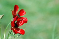 Two red flowers. Red flowers on a green background Stock Image