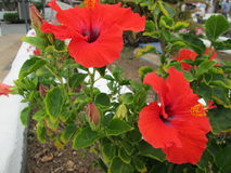 Two red flowers. Botany, hibiscus  ,park, outdoors, nature, garden, flora Royalty Free Stock Photos