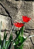 Two red flowers near the stone background Royalty Free Stock Photos