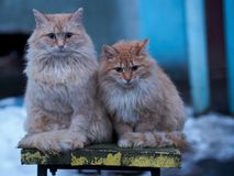 Two red fluffy stray cat on a bench in the winter. Two red fluffy stray cat with miserably sitting on a bench and bask in the winter evening Royalty Free Stock Images