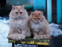 Two red fluffy stray cat on a bench in the winter. Two red fluffy stray cat with miserably sitting on a bench and bask in the winter evening Royalty Free Stock Photos
