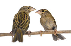 Two Red Fods perched on a branch, facing each other Royalty Free Stock Photo