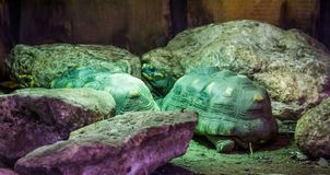 Two red footed tortoises in closeup, tropical land turtles from America, Vulnerable reptile specie. Red footed tortoises in closeup, tropical land turtles from stock photo