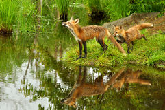 Two red fox play near a clear pond. Royalty Free Stock Photos