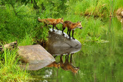Two red fox play near a clear pond. Stock Images