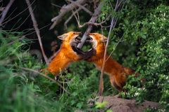 Two Red Fox siblings playing stock photos