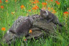 Two Red Fox Vulpes vulpes Climb Atop Log Stock Photo