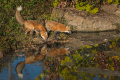 Two Red Fox Vulpes vulpes at Edge of Pond Stock Images