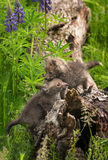 Two Red Fox Vulpes vulpes Kits Clamber About On Log Stock Photos