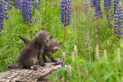 Two Red Fox (Vulpes vulpes) Kits At End of Log Royalty Free Stock Image