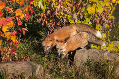 Two Red Fox (Vulpes vulpes) on Rock Royalty Free Stock Photography
