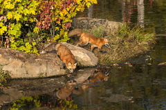Two Red Fox (Vulpes vulpes) on Shoreline Royalty Free Stock Photos