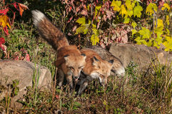 Two Red Fox (Vulpes vulpes) Side by Side Royalty Free Stock Images