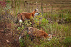 Two Red Fox  Vulpes vulpes Stand on Island Stock Image