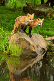 Two Red Fox and water reflection. Stock Photos