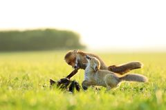 Two red foxes fight for prey  on meadow in the morning - Vulpes vulpes. Two red foxes fight for catched bird on meadow in the morning - Vulpes vulpes Stock Photo