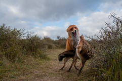 Two Red foxes fighting in the dunes stock image