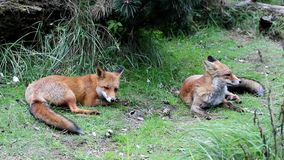 Two Red Foxes stock video