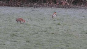 Two red foxes playing in the frost, in a field stock video footage
