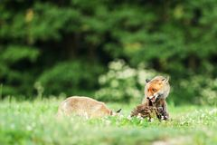 Two red foxes with catch bird on meadow in early morning - Vulpes vulpes. Two red foxes with prey on meadow - Vulpes vulpes Stock Photos