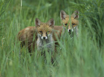 Two red foxes standing in tall grass Royalty Free Stock Image