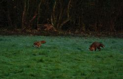 Two red foxes playing in the frost, in a field Royalty Free Stock Photo