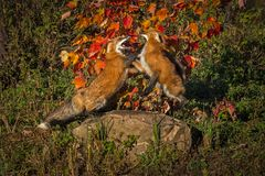 Two Red Foxes Vulpes vulpes Fight Atop Rock Autumn stock photo