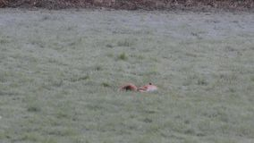 Two red foxes frolicking in the frost, in a field stock video