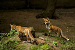 Two red foxes watching out Royalty Free Stock Photography