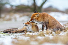 Two red foxes stock image