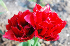 Two red fringed tulip in spring garden Royalty Free Stock Image