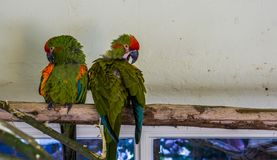 Two red fronted macaw parrots sitting on a branch together and cleaning their feathers, tropical and critically endangered birds. Two red fronted macaw parrots royalty free stock image