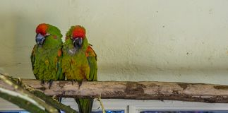 Two red fronted macaw parrots sitting close together on a branch, tropical and critically endangered birds from Bolivia royalty free stock image