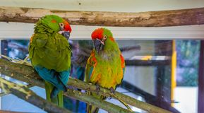 Two red fronted macaw parrots sitting together on a branch, tropical and critically endangered birds from Bolivia. Two red fronted macaw parrots sitting together stock photos