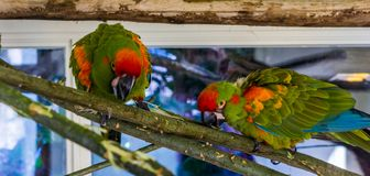 Two red fronted macaw parrots walking over a branch using their beaks, tropical and critically endangered birds from Bolivia. Two red fronted macaw parrots royalty free stock image