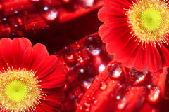 Two red gerbera blossoms. In front of a background with fresh drops of water Royalty Free Stock Photos