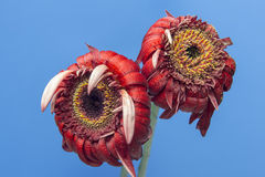 Two red gerbera flower in bloom on a blue background Royalty Free Stock Photos
