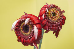 Two red gerbera flower in bloom on a yellow background Royalty Free Stock Photos