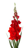 Two red gladioluses isolated on white background.  Stock Photo